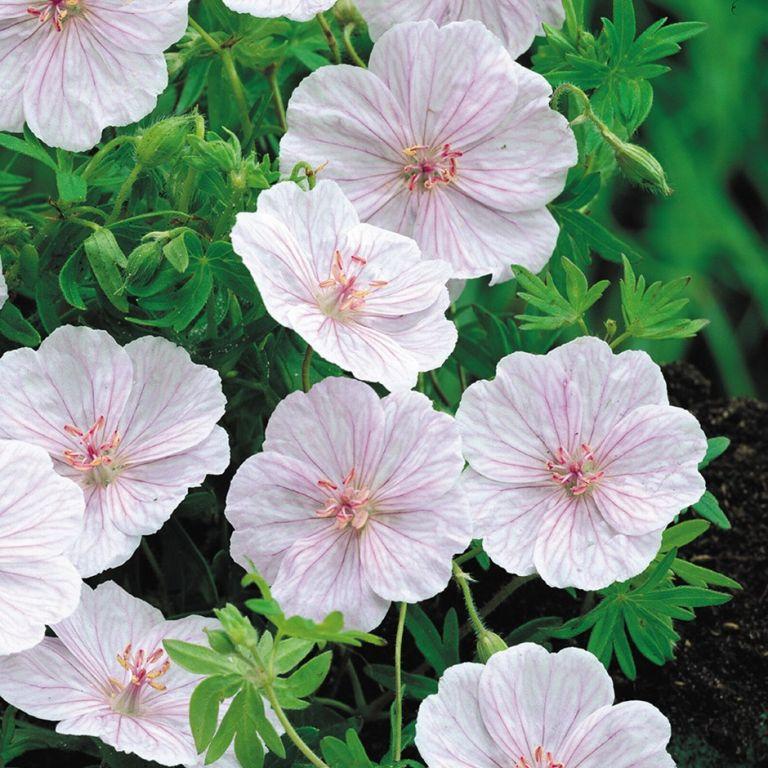 Drought tolerant plants: Geranium sanguineum var. striatum