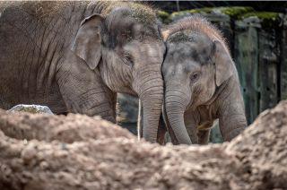 Secret Life of the Zoo. Baby elephantsIndali and Anjan.