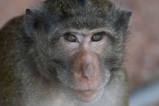 Macaque monkeys are common carriers of the 'monkey B' virus. Above, a macaque photographed in Bangkok in February, 2021.