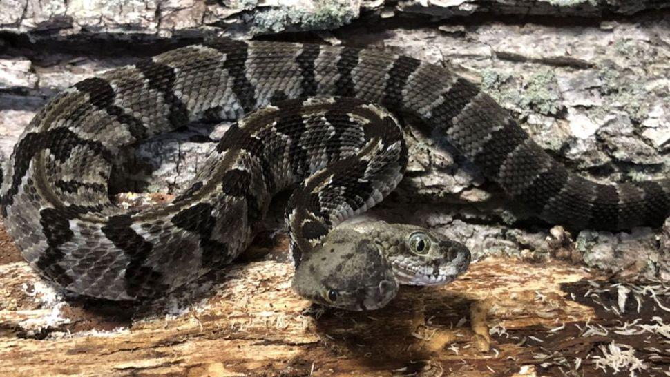 Double-headed rattlesnake named Double Dave W5DhRgjTSUNdLJoaFnVj6S-970-80