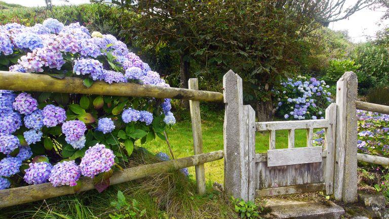 hydrangeas coming through fence