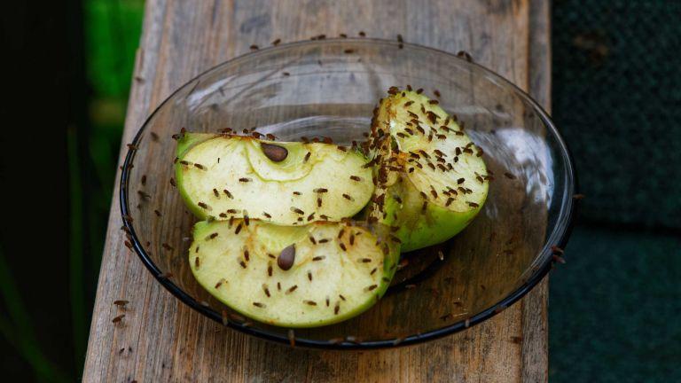 how to get rid of fruit flies – apple with fruit flies