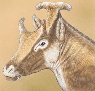 x. amidala, an extinct relative of giraffes