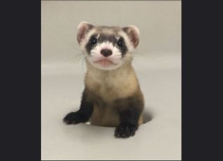 Elizabeth Ann is the first cloned black-footed ferret and first-ever cloned U.S. endangered species. Above, Elizabeth Ann at 68 days old.