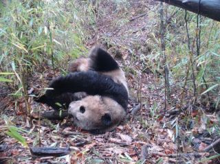 A giant panda, camera traps