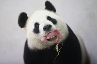 giant-panda-cub