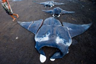 Manta and mobula rays at Bali fish market, poaching
