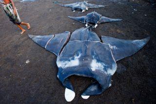 Manta and mobula rays at Bali fish market, poaching