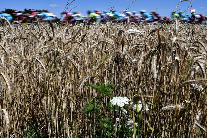 The peloton passes the wheat fields during the Tour de France