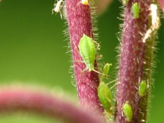 green aphid on a leaf