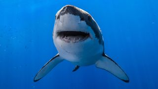 A picture of a great white shark