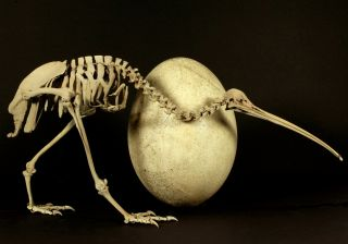 An adult brown kiwi ( Apteryx australis ) beside the egg of a huge elephant bird ( Aepyornis maximus ).