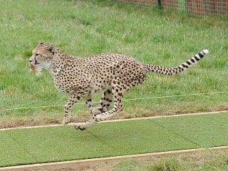 A running cheetah, world's fastest animals