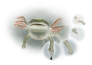 Micromelerpeton