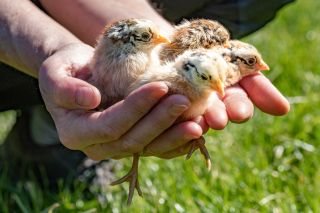 A person holding baby chickens in their hands.
