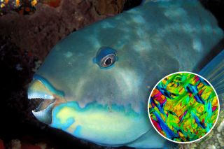 An inset on this image of a parrotfish shows the microscopic crystal structure of its beak.