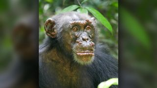 A chimpanzee named Woodstock with leprosy, in the Ivory Coast.
