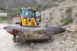 A front-end-loader removes a beaked whale that was stranded on the beach after an earlier mass stranding off Greece in 1996.