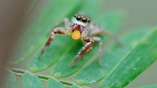 A juvenile jumping spider (<em>Baheera kiplingi</em>) eating a Beltian body, or a detachable leaflet tip from an acacia tree, in Akumal Mexico. Beltian.