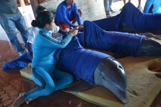 Caretakers moisten the dolphins' skin, as they prepare them for their move to a safe area in Cienfuegos, Cuba.