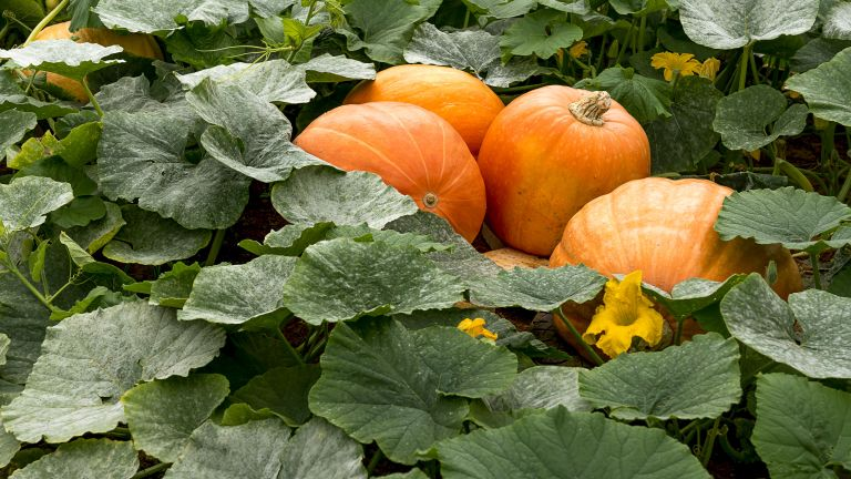 pumpkins growing in garden