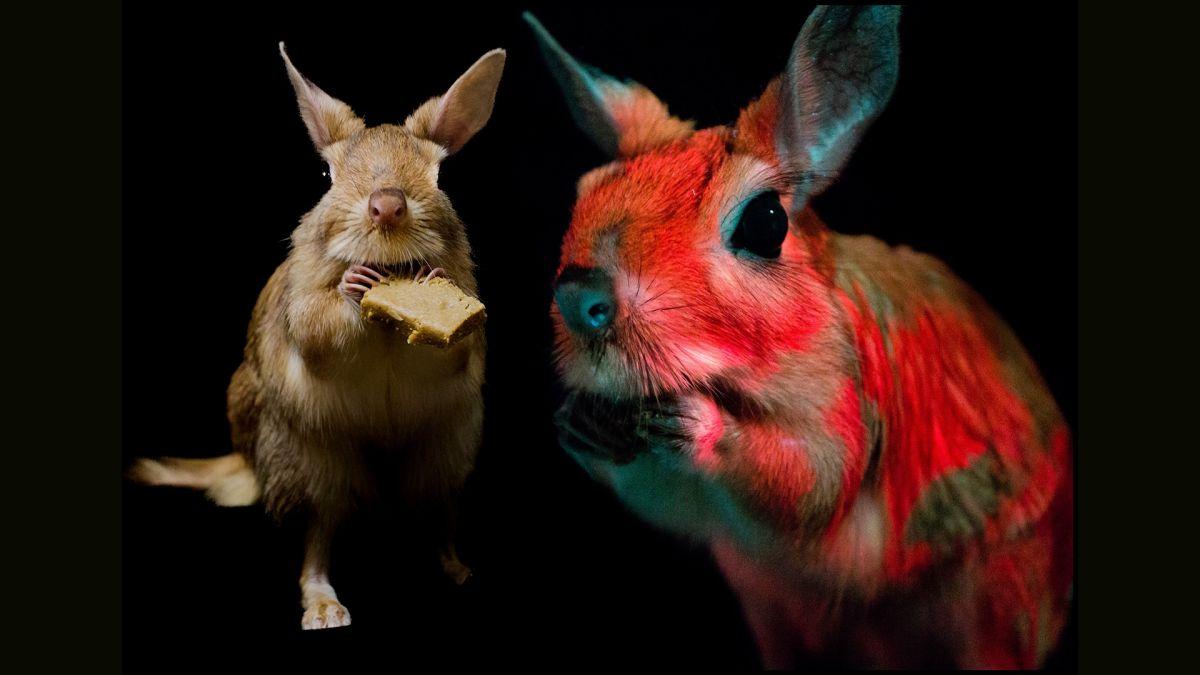 Weird rodent glows under UV light with disco swirls of pink and orange