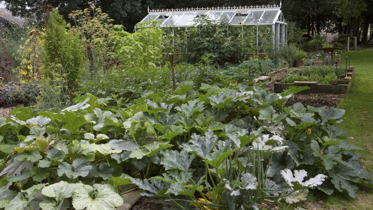 Growing zucchini in raised beds