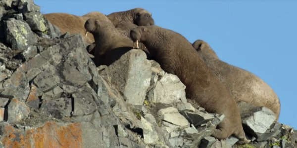 walruses on cliff our planet netflix