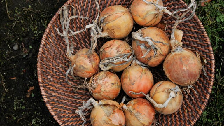 companion plants for onions - onions drying in a basket