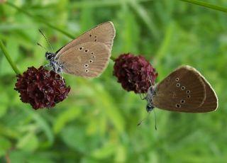 endangered european butterflies, butterfly conservation europe, butterfly news, how to save europe butterflies