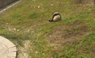 Panda Rolling Around