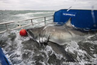 Great white shark being captured and tagged
