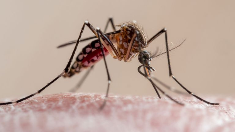 how to get rid of mosquitoes - a mosquito biting skin - getty