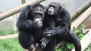 """In acoustic experiments, chimpanzees demonstrated that they could recognize when """"grammar"""" rules were violated."""