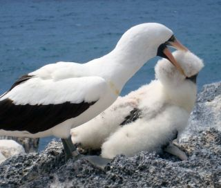 A Nazca booby biting a chick.