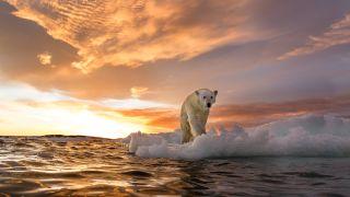 A polar bear (Ursus maritimus) stands on melting sea ice near Harbour Islands, Canada.