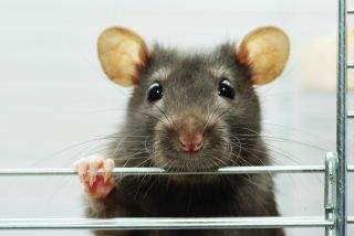 A cute rat in a cage.