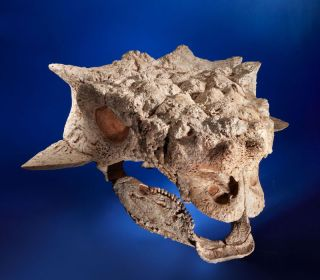 This Ankylosaurid skull is among the fossils auctioned on May 20 that paleontologists suspect were taken illegally from Mongolia.