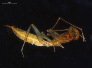 A subterranean schizomid is pictured.