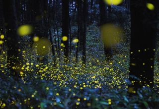A camera with a slow–shutter speed captured firefly signals; fireflies emit light to signal to potential mates. This photo was taken in Okayama prefecture, Japan.