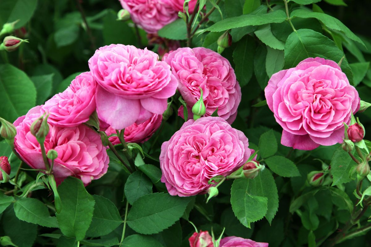 How To Take Rose Cuttings It S Easy With Our Advice Gardeningetc