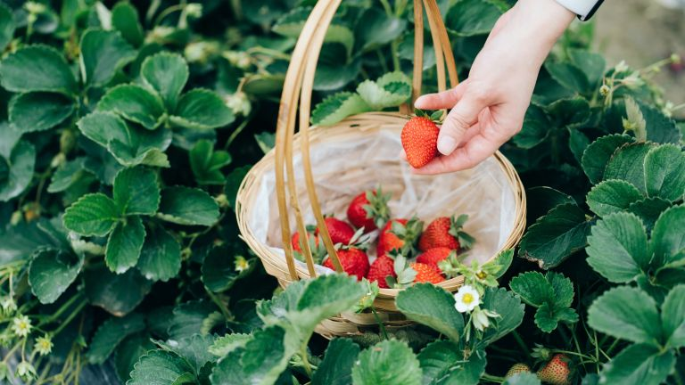 using companion plants for strawberries for bumper crop