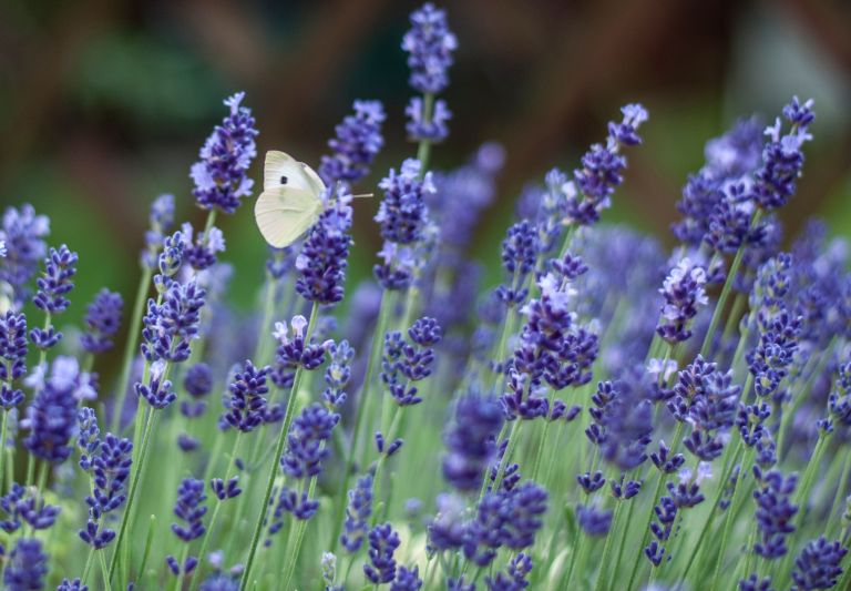 Growing lavender: Lavender, by Csaba Talaber