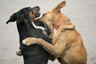 Sudden Aggression in Dogs Often a Sign of Pain | Live Science