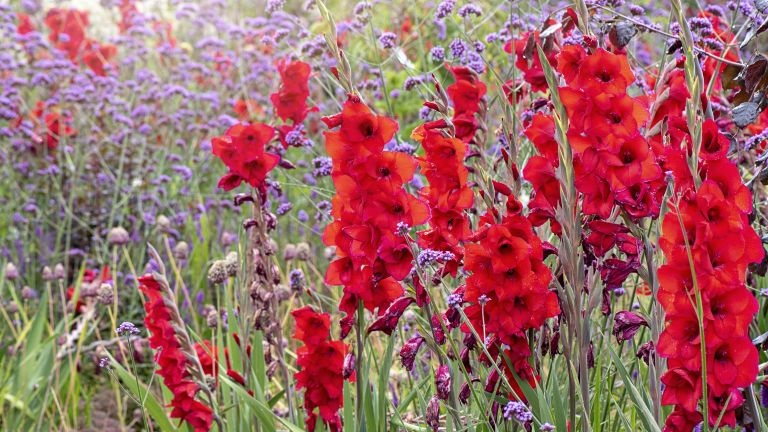 Red and purple gladioli flowers in a meadow
