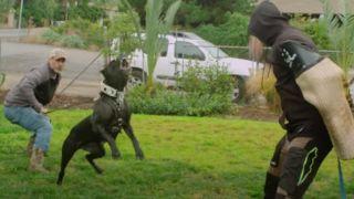 The Cane Corso attacks an intruder