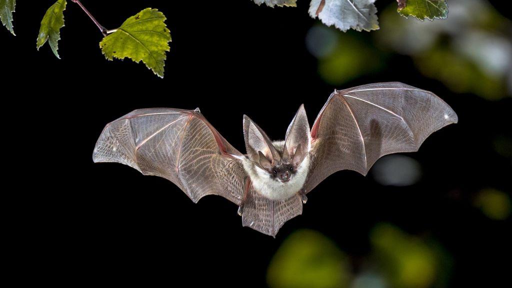 Por que os morcegos não ficam doentes com os vírus que carregam, mas os humanos ficam