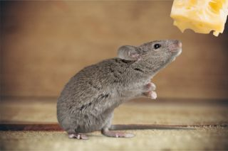 A cute mouse with a hunk of cheese.