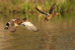 Ducks fly near the bank of a pond.