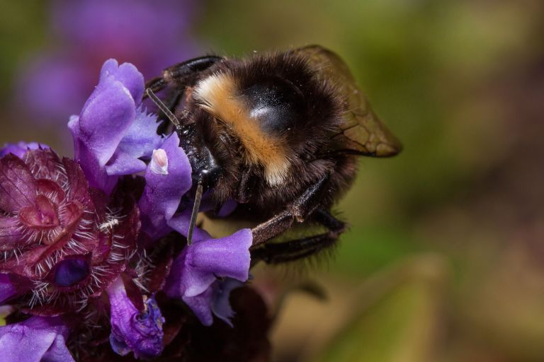 a bee on a self heal flower